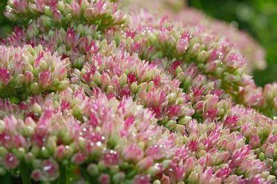 Fleurs Qui Resistent Au Vent by Sedum Spectabile Ch 232 Vrefeuille Heuch 232 Res Buis Viburnum