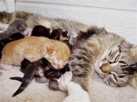 alimentazione quando si allatta quando micia allatta i suoi gattini mammeonline