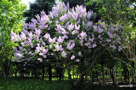 lilac tree information related keywords suggestions for lilac tree large