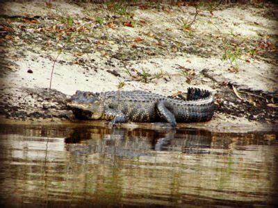everglades airboat tours near sarasota peace river airboat alligator tours sarasota must do