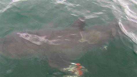 shark cape cod boy 6 helps catch great white shark cape cod nbc