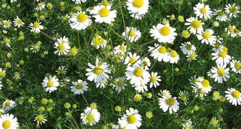 fiore della camomilla camomilla infuso infusi camomilla come fare un infuso