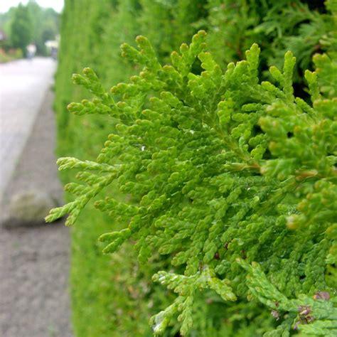 wann thuja pflanzen thuja hecke lebensbaum smaragd lebensbaum hecke thuja