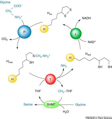 h protein glycine cleavage system prot 233 ine h du complexe de la glycine d 233 carboxylase