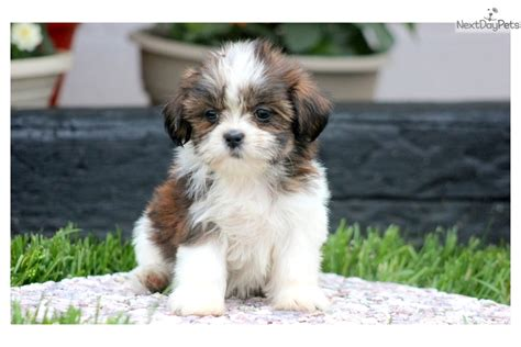 shih tzu puppies for sale near me shih tzu puppy for sale near lancaster pennsylvania e69002e4 10e1