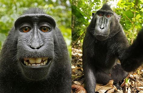 peta sues photographer david slater to try and get a peta sues photographer on monkey s behalf to give monkey