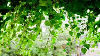 wallpaper with vines wallpapersafari