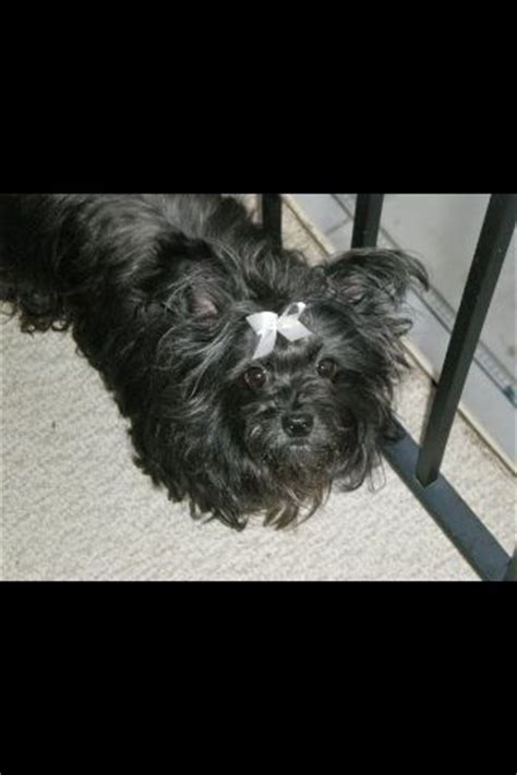 all black yorkie poo 17 best images about my critters on chihuahuas great yarmouth and