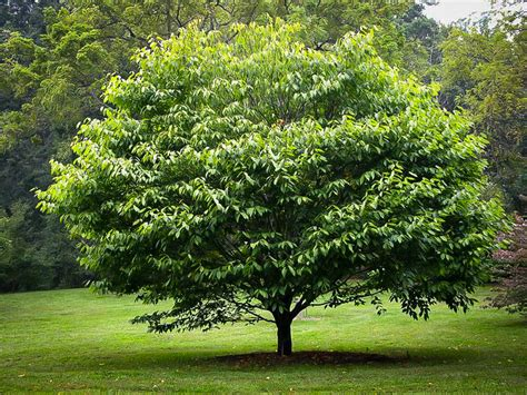 picture of tree american hornbeam for sale the tree center