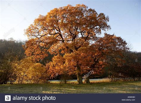 oak tree in autumn www pixshark com images galleries