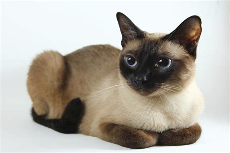 pet cat hypoallergenic cats are a paw radise for allergic cat