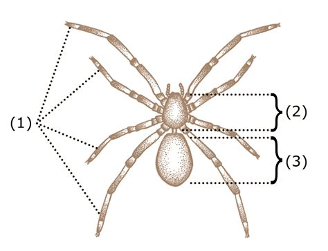 how many body sections does a spider have spider legs and how they work the infinite spider