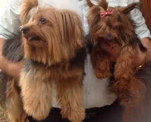 Yorkie Rescue Yorkie Rescue Terrier Dogs For Adoption In South