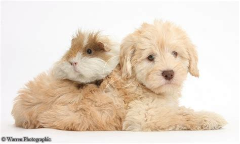 goldendoodle puppy toys goldendoodle puppy and guinea pig goldendoodle dogs