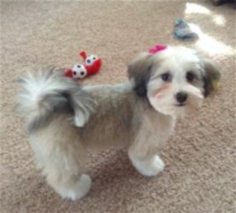 havanese puppy cuts puppy cut havanese www pixshark images galleries with a bite