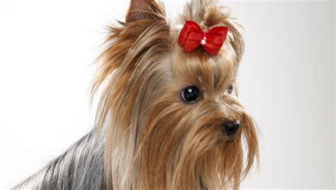 yorkie bulldog terrier breed selector animal planet