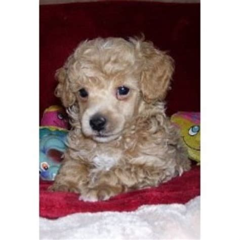 cockapoo puppies for sale in nc 403 forbidden