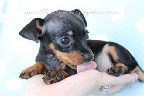 mini pin puppy min pin puppies new born search min pin puppies