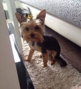 how often should you bathe your yorkie how to groom a yorkie grooming a terrier yorkie