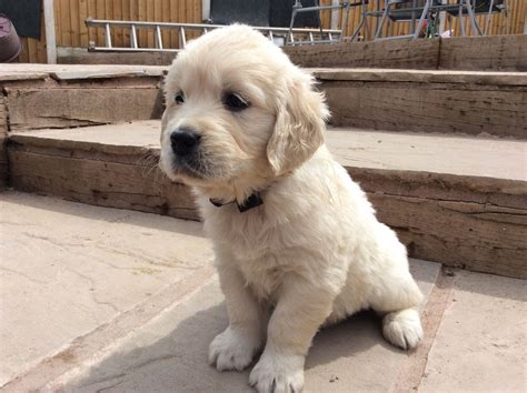 golden retriever puppies for sale in hshire golden retriever puppies congleton cheshire pets4homes