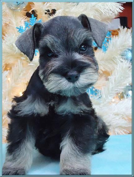 miniature schnauzer puppies ohio a mini schnauzer puppy oh my gosh what a beautiful puppy so adorable