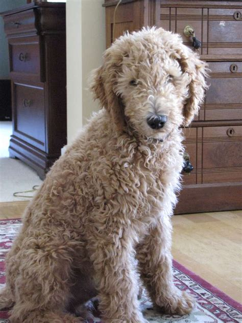 goldendoodle puppy growing up goldendoodle puppy growing up goldendoodle roux this is