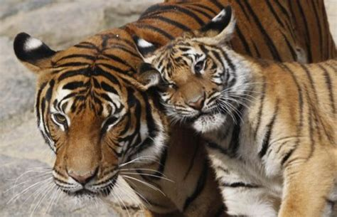 tiger biography in english best images for week ending april 6th lifestyle news