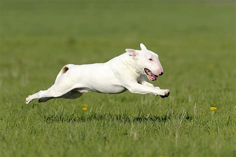white bull terrier puppy white bull terrier puppies www pixshark images galleries with a bite
