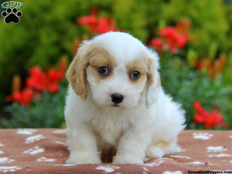 cavachon puppies for sale in pa 17 best images about cavachon puppies for sale on beautiful adoption and