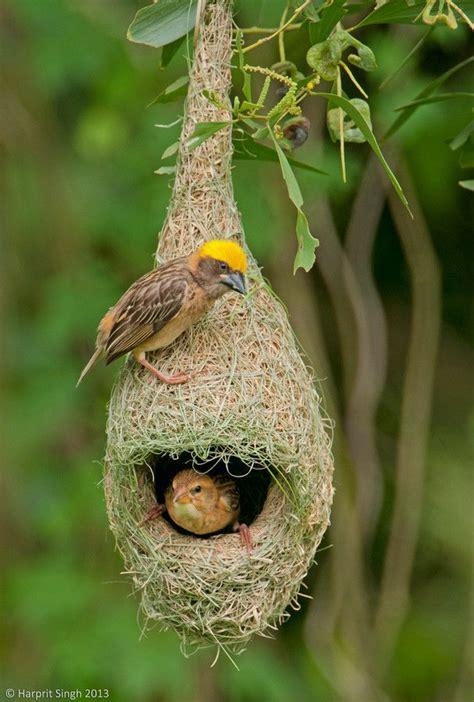 17 best images about bird nests on pinterest madagascar