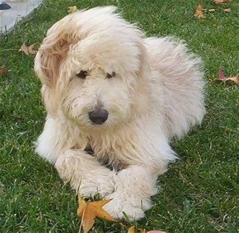 goldendoodle vs golden retriever goldendoodle breed pictures 7