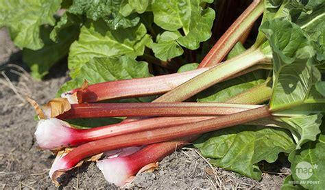 Planter De La Rhubarbe by Photo Dans Quand Et Comment Planter De La Rhubarbe Image