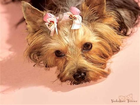 yorkie hair bows terrier with bows in hair ridiculously pintere