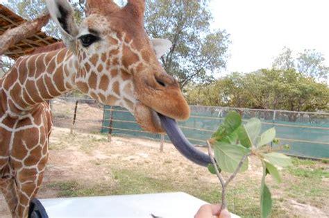 what color is a giraffe s tongue giraffes cousins okapi massachusetts academy of