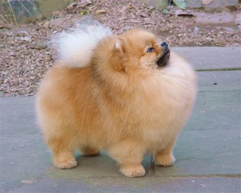 images of pomeranian dogs pomeranian photos
