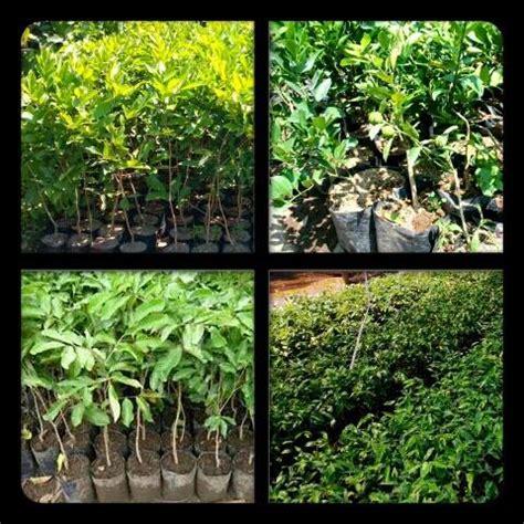 Bibit Rambutan Medan jual bibit tanaman murah lengkap di medan
