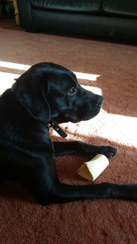 dudley lab puppies for sale labrador x mastiff dudley west midlands pets4homes