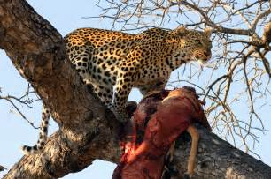 Jaguar What Do They Eat Animal Galleries Pictures Of Animals From Around The