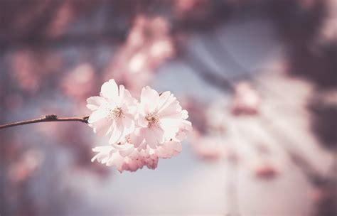 pink flower tree bloom spring wallpaper