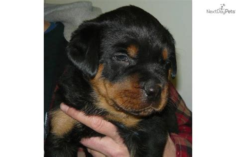 rottweiler puppies wisconsin rottweiler puppy for sale near kenosha racine wisconsin bc1aa403 5911