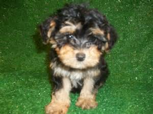Terrier x poodle new jersey puppies for sale breeders club