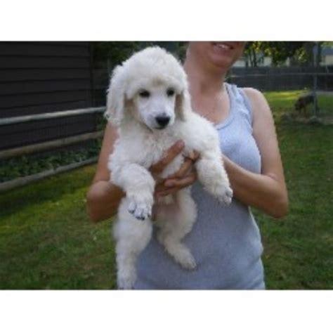 free puppies toledo ohio knicely poodle standard breeder in toledo ohio