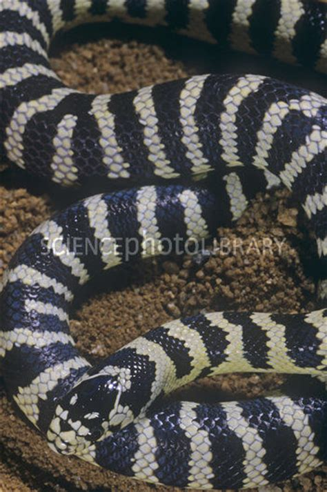 california king snake banded color phase stock image