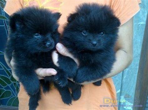 3 Pcs Miniature Kucing Lucu Warna Hijau jual 6 ekor anakan anjing mini pomeranian high quality bed mattress sale