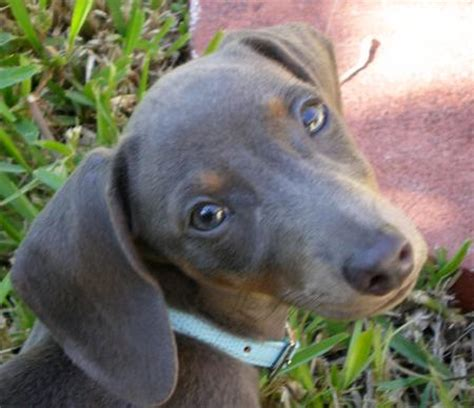 blue dachshund puppies blue dachshund puppies pictures a shawa breeds picture