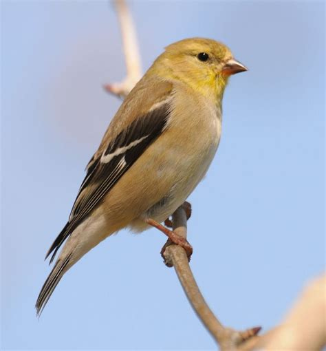 themes goldfinch 35 best images about beautiful american goldfinch