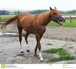 beautiful horse chestnut stallion british breed