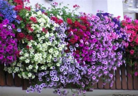 piante da davanzale fiori da balcone su fioriere finestra semi di