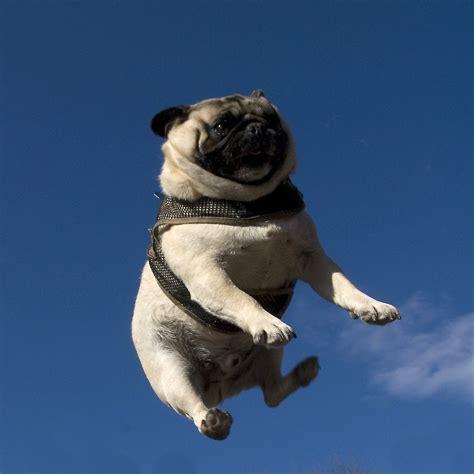 save a pug lol animals puppies dogs pugs refluffs thefluffingtonpost