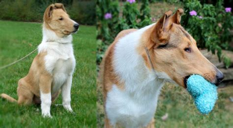 smooth collie puppies smooth collie photos images